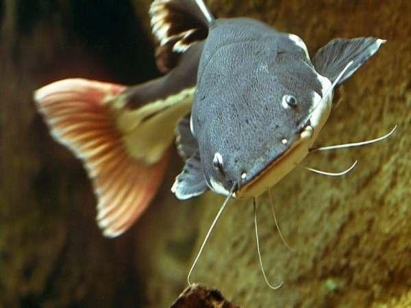 Mơ thấy cá Trê