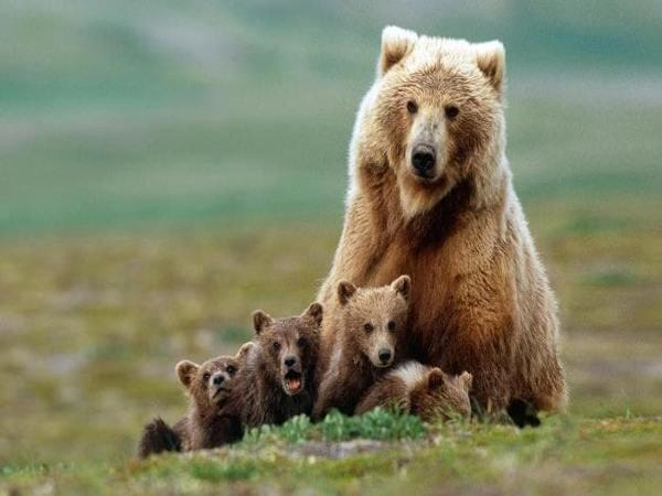 Mơ thấy Gấu là điềm báo gì
