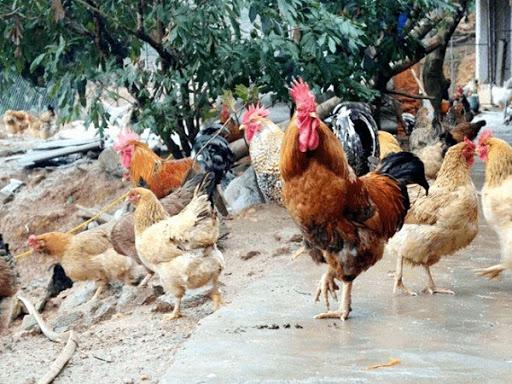 Nằm mơ thấy gà có ý nghĩa gì trong cuộc sống