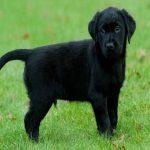 Ngủ mơ thấy chó đen đánh con gì ? Là điềm hên hay xui ?