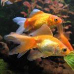 Mơ thấy cá vàng đánh con gì, mang ý nghĩa tốt hay xấu?